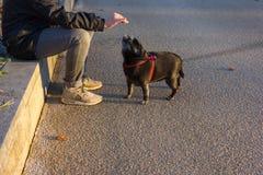 黑哈巴狗和白朋友在11月晚上尾随获得乐趣 库存照片