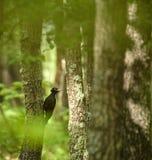 黑啄木鸟在森林里 免版税库存图片
