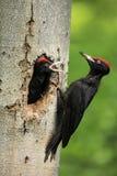 黑啄木鸟通过筑巢洞 库存照片