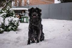黑围场狗,与粗野的头发,猎犬 冬天、冷淡的天气和很多白雪 免版税库存照片