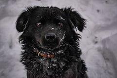 黑围场狗,与粗野的头发,猎犬 冬天、冷淡的天气和很多白雪 免版税库存图片