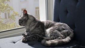 黑在窗口基石的烟平纹英国猫 影视素材