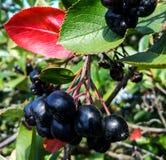 黑堂梨属灌木成熟在庭院里 免版税图库摄影