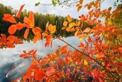 黑堂梨属灌木红色叶子  秋天横向 库存照片
