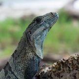 黑多刺的被盯梢的鬣鳞蜥Ctenosaura Similis 免版税库存图片