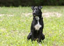 黑大牧羊犬被混合的品种狗开会 库存照片