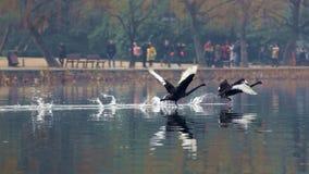 黑天鹅向西湖在杭州, 免版税图库摄影