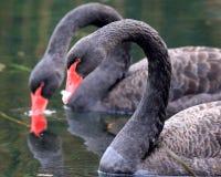 黑天鹅向西湖在杭州, 库存照片