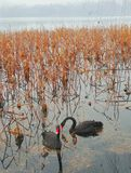 黑天鹅向西湖在杭州, 免版税库存图片