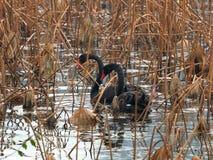 黑天鹅向西湖在杭州, 库存图片