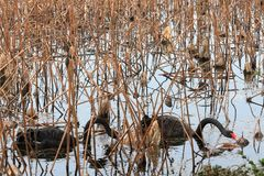 黑天鹅向西湖在杭州, 免版税库存照片