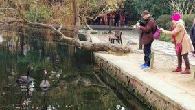 黑天鹅向西湖在杭州 库存图片