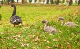 黑天鹅和两只小天鹅 免版税图库摄影