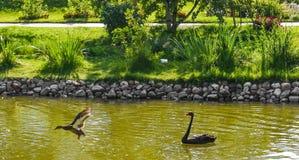 黑天鹅在修道院池塘 库存照片