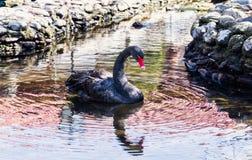 黑天鹅在池塘 免版税库存图片