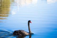 黑天鹅在湖或在池塘 在水反映的蓝天 库存图片