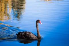 黑天鹅在湖或在池塘 在水反映的蓝天 免版税图库摄影