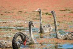 黑天鹅小天鹅和父母 免版税库存图片