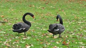 黑天鹅鸟天鹅黑色 股票视频