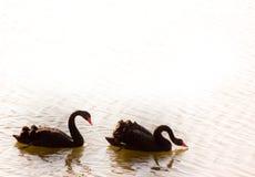 黑天鹅 免版税库存照片