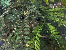 黑夫妇甲虫在农场 免版税库存照片