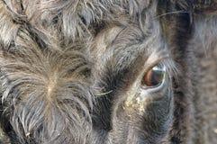 黑安格斯母牛,关闭在眼睛 反射性的画象 免版税图库摄影