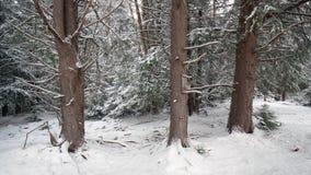 黑尿病在雪的国家公园树 免版税库存照片