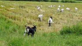 黑山羊为吃在领域的草走 免版税库存照片