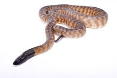 黑带头的Python, Aspidites melanocephalus 库存照片