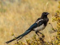 黑开帐单的鹊在洛矶山国家公园 免版税库存照片