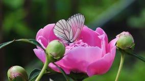 黑成脉络的白色蝴蝶-在桃红色牡丹的Aporia crataegi- 股票视频
