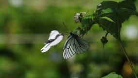 黑成脉络的白色蝴蝶-在莓花的Aporia crataegi- 股票录像