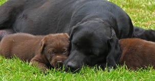黑拉布拉多猎犬母狗和布朗小狗在草坪,睡觉,诺曼底,慢动作 股票视频