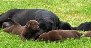 黑拉布拉多猎犬母狗和布朗小狗在草坪,睡觉,诺曼底,慢动作 影视素材