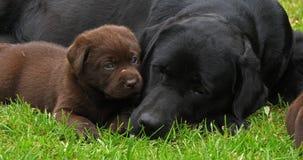 黑拉布拉多猎犬母狗和布朗小狗在草坪,睡觉,诺曼底,慢动作 股票录像