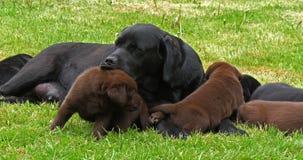 黑拉布拉多猎犬母狗和黑色和布朗小狗在草坪,舔,诺曼底,慢动作 股票视频