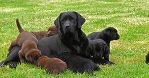 黑拉布拉多猎犬母狗和黑色和布朗小狗在草坪,诺曼底,慢动作 影视素材