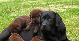黑拉布拉多猎犬母狗和黑色和布朗小狗在草坪,诺曼底,慢动作 股票视频