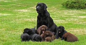 黑拉布拉多猎犬母狗和黑色和布朗小狗在草坪,诺曼底,慢动作 股票录像
