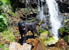 黑拉布拉多猎犬狗在美丽的瀑布附近放置 库存图片
