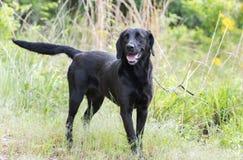 黑拉布拉多猎犬狗外面在皮带摇摆的尾巴 免版税库存图片