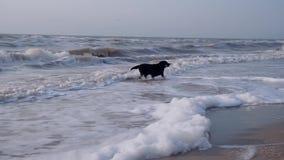 黑拉布拉多,寻找棍子,投掷由所有者在海,狗从波浪做一根长的棍子 影视素材