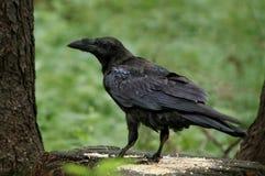 黑掠夺在森林 免版税图库摄影