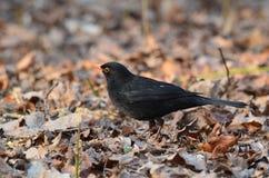 黑掠夺在站立在秋天下午的草的城市公园 库存图片