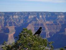 黑掠夺坐树在大峡谷,亚利桑那,美国 库存图片