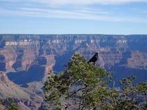 黑掠夺坐树在大峡谷,亚利桑那,美国 库存照片
