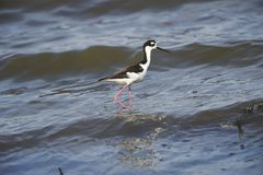 黑收缩的高跷Himantopus mexicanus沿查帕拉湖边缘走 免版税库存图片