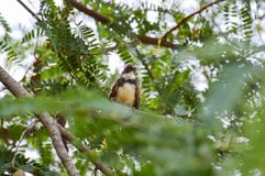 黑暗收缩的长尾缝叶鸟Orthotomus atrogularis在森林里 库存照片