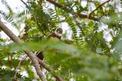 黑暗收缩的长尾缝叶鸟Orthotomus atrogularis在森林里 免版税库存照片