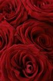 黑暗的图象宏观红色上升了 免版税库存图片